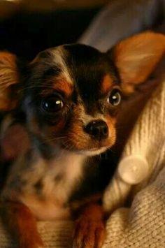 So darn cute! Blue merle chihuahua puppy dog