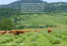 From a recent trip to Croatia.  #essentialoil #aromatherapy #Croatia #lavender