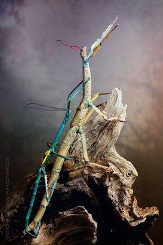 Achrioptera fallax mating: Photo by Photographer Igor Siwanowicz - photo.net