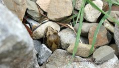Common frog peeping out through stones - illustrating a children's nature story with information about frogs Nature Story, Stories For Kids, Frogs, Ireland, Stones, Children, Young Children, Stories For Children, Rocks