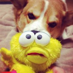 ガゥ。I love BIG BIRD!!!!! #dog #corgi