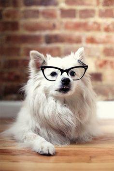 Miku eskie eskimo dog puppy