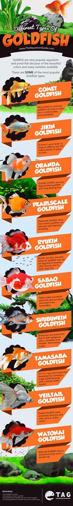 """A """"legegyszerűbb"""" változat a közönséges aranyhal, nekik villás a farkuk. Azonban az aranyhalak kaphatók fátyolfarkú változatban is. Népszerű még a tarka (Shubunkin), a hólyagszemű, a legyezőfarkú, az """"égre néző"""" szemű, a rizsszemes pikkelyű, a fekete teleszkópszemű, az oroszlánfejű, és a gombafejű aranyhal is. Megkülönböztetünk egyszerű és osztott farkú aranyhal-törzseket."""