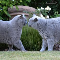 ⬅Findus ❤ Yoda➡ #cats_of_instagram #catstocker #trb_catsmeow #catplanet #britishorthair #catelements #caturdaycuties #greycat #bestoftheday #igbest_cats #meow_beauties #meowbox #kiss #caturdaycuties #thecatawards