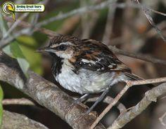 Stripe-backed Antbird male  Birding Brazil Tours | Caatinga
