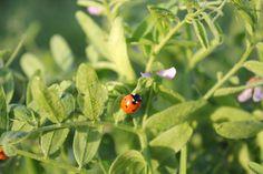 Ladybug Copyright Mimi Yu
