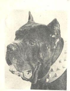 1960 Neapolitan Mastiff