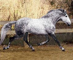 Lusitano stallion, Mon Cadeau de St Valentin.