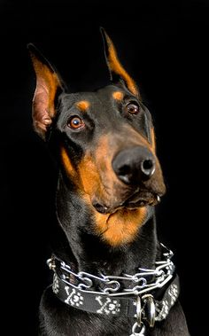 Doberman Pincher - Named Moose