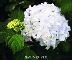 Monrovia's Madame Emile Mouillere Hydrangea details and information. Learn more about Monrovia plants and best practices for best possible plant performance. Hydrangea Macrophylla, Hydrangeas, Lush Garden, Shade Garden, Garden Plants, Dream Garden, Shade Flowers, Beautiful Flowers, Plants
