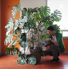 #Monstera Super grote Monstera plant