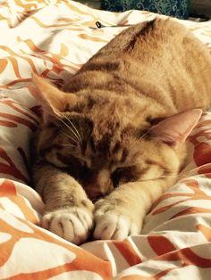 Mimou Cat | Pawshake