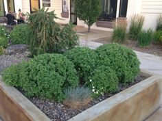 Here are some globe-pruned chrysanthemums. They look a lot like box woods and would be beautiful in the fall when blooming.
