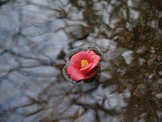물 위에 떨어진 동백꽃