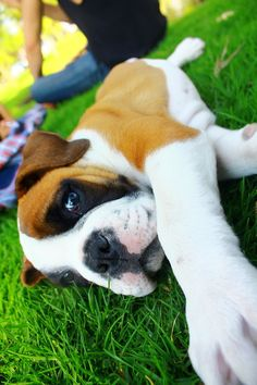 178 Best Boxer Puppies images in 2018   Boxer dogs, Boxer