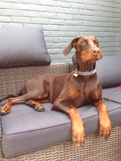 The Doberman Pinscher is among the most popular breed of dogs in the world. Known for its intelligence and loyalty, the Pinscher is both a police- favorite Brown Doberman, Doberman Love, Doberman Puppies, Doberman Pinscher Dog, Corgi Puppies, Big Dogs, Cute Dogs And Puppies, I Love Dogs, Pitbull