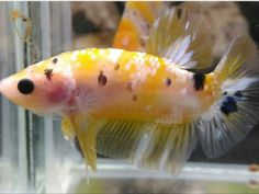 This beautiful betta has show quality color and form, because it was bred by one of the most experienced and reputable betta breeders in Thailand. Tropical Freshwater Fish, Home Aquarium, Siamese Fighting Fish, Betta Fish, Kos, Fresh Water, Fancy, Live, Yellow