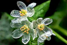 Afbeeldingsresultaat voor Grayi Diphyllelia Diphylleia grayi, also known as the skeleton flower, has white petals that turn translucent with rain. When dry, they revert to white