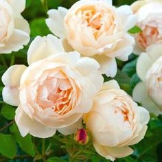 David Austin's Wollerton Old Hall. A very spicily scented rose in a warm peach blush colour. Outstanding.