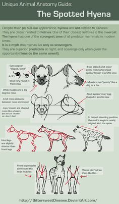 Unique Animal Anatomy: Spotted Hyena by =FOERVRAENGD on deviantART