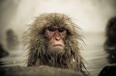 Snow Monkeys Nagano Japan on Behance
