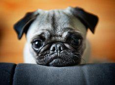 yamuga-photo: Pug'n'couch