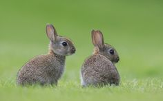Young Rabbits - Young european rabbits (Oryctolagus cuniculus) Млади зайци подземници