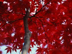 Close View of Red Maple Leaves Photographic Print by Al Petteway at AllPosters.com 16x12 print $43.99