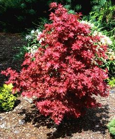Acer palmatum 'Ruby Stars' What's hot these days? Well, it was 102 degrees a week ago, but with adequate water, most plants fared . Deciduous Trees, Trees And Shrubs, Trees To Plant, Flowering Shrubs, Sun Garden, Garden Plants, Topiary Garden, Pruning Japanese Maples, Dwarf Japanese Maple
