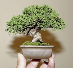 Junipero mini Bonsai