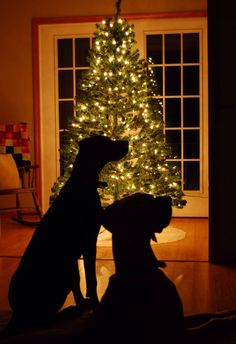 #Great #Dane Christmas