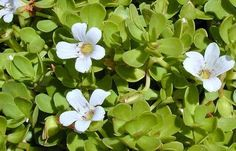 Benefits of Using Brahmi Oil: Does it Work to Reduce Anxiety?