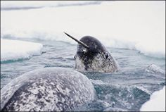 The narwhal's tooth has hydrodynamic sensor capabilities. Ten million tiny nerve connections tunnel their way from the central nerve of the narwhal tusk to its outer surface. Though seemingly rigid and hard, the tusk is like a membrane with an extremely sensitive surface, capable of detecting changes in water temperature, pressure, and particle gradients.