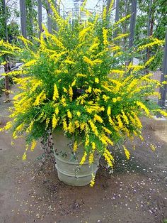 Just planted these in our back yard along the fence. I love them! Sweet broom - blooms late winter to early spring, up to 6 feet tall, full sun to light shade, perennial