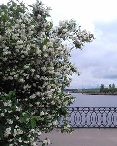 Сегодня пасмурно в Выборге. Зато можно полюбоваться вот такой красотой�� было бы здорово, если бы администрация поставила скамейки под жасмином���������� #жасмин #выборг #цветы #лето #набережная #природа #красота #белыецветы #vyborg #flowers #jasmine #jasmin #jessamine #whiteflowers #oldtown #travel #travelling #путешествие #путешественница #пригородыпетербурга http://misstagram.com/ipost/1552100489888333970/?code=BWKKywTgQCS