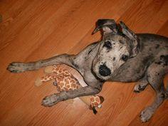Merle Great Dane puppy Scarlett