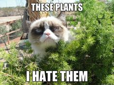 Grumpy cat frowns on your shenanigans. Grumpy cat is not impressed. I wonder if grumpy cat is an engineer. I did find some Grumpy Cat gifs: Grumpy Cat say \ Grumpy Cat Quotes, Funny Grumpy Cat Memes, Funny Animal Memes, Funny Animal Pictures, Funny Animals, Cute Animals, Grumpy Kitty, Animal Captions, Funny Memes