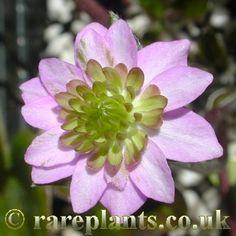 Hepatica japonica 'Mangekyou' [Family: Ranunculaceae]