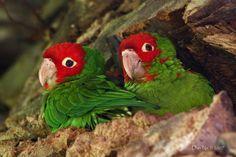 parrots of san francisco telegraph hill - Google Search