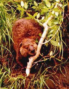 Amateur Bear And Beaver