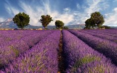 Heaven on earth...lavender fields in France. I'd like to take a nap here!!