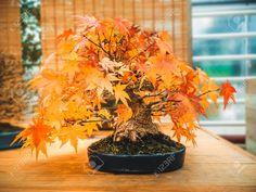 red scarlet bonsai maple tree acer palmatum bonsai tree of trident maple in autumn Stock Photo , Bonsai Maple Tree, Maple Tree Seeds, Acer Palmatum, Bonsai Plants, Trident, Compost, Flyer Design, Scarlet, Zen