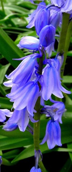 221 best flower bells images on pinterest beautiful flowers blue bells blue bell flowerspurple mightylinksfo