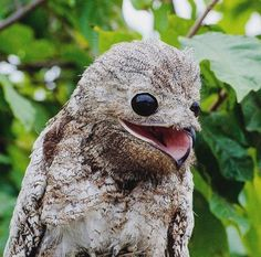Animal Funny Laughing Pictures will bright your day Rare Animals, Animals And Pets, Funny Animals, Odd Animals, Bird Pictures, Animal Pictures, Great Potoo, Potoo Bird, World Birds
