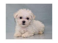 Puppies - Petland Vineyard! 210-479-PETS (7387)