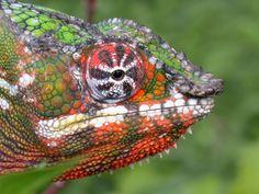 Panther chameleon, furcifa parda