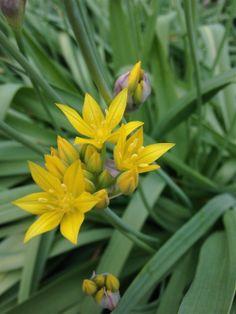 En flott løkblomst som akkurat har sprunget ut - dessverre husker jeg ikke navnet :) / A beautiful bulb flower in a wonderful color - I regret having forgotten the name just now :D 4.6.14/IJ