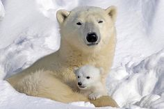 Not always of two cubs born both survive. Mama Bear will protect it twice. Very sad that the little cubs die very early in life. And white bear are less and less . Baby Polar Bears, Cute Polar Bear, Penguins And Polar Bears, Cute Baby Animals, Animals And Pets, Wild Animals, Animal Babies, Beautiful Creatures, Animals Beautiful
