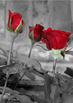 for the love of red roses ~~ X ღɱɧღ || Love, delicate like thousands of rose petals soft and fragile, precious, full of beauty