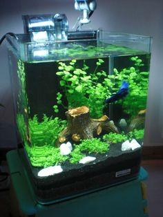 Some interesting betta fish facts. Betta fish are small fresh water fish that are part of the Osphronemidae family. Betta fish come in about 65 species too! Betta Aquarium, Aquarium Terrarium, Mini Aquarium, Aquascaping, Small Fish Tanks, Cool Fish Tanks, Betta Tank, Nano Cube, Fish Tank Design